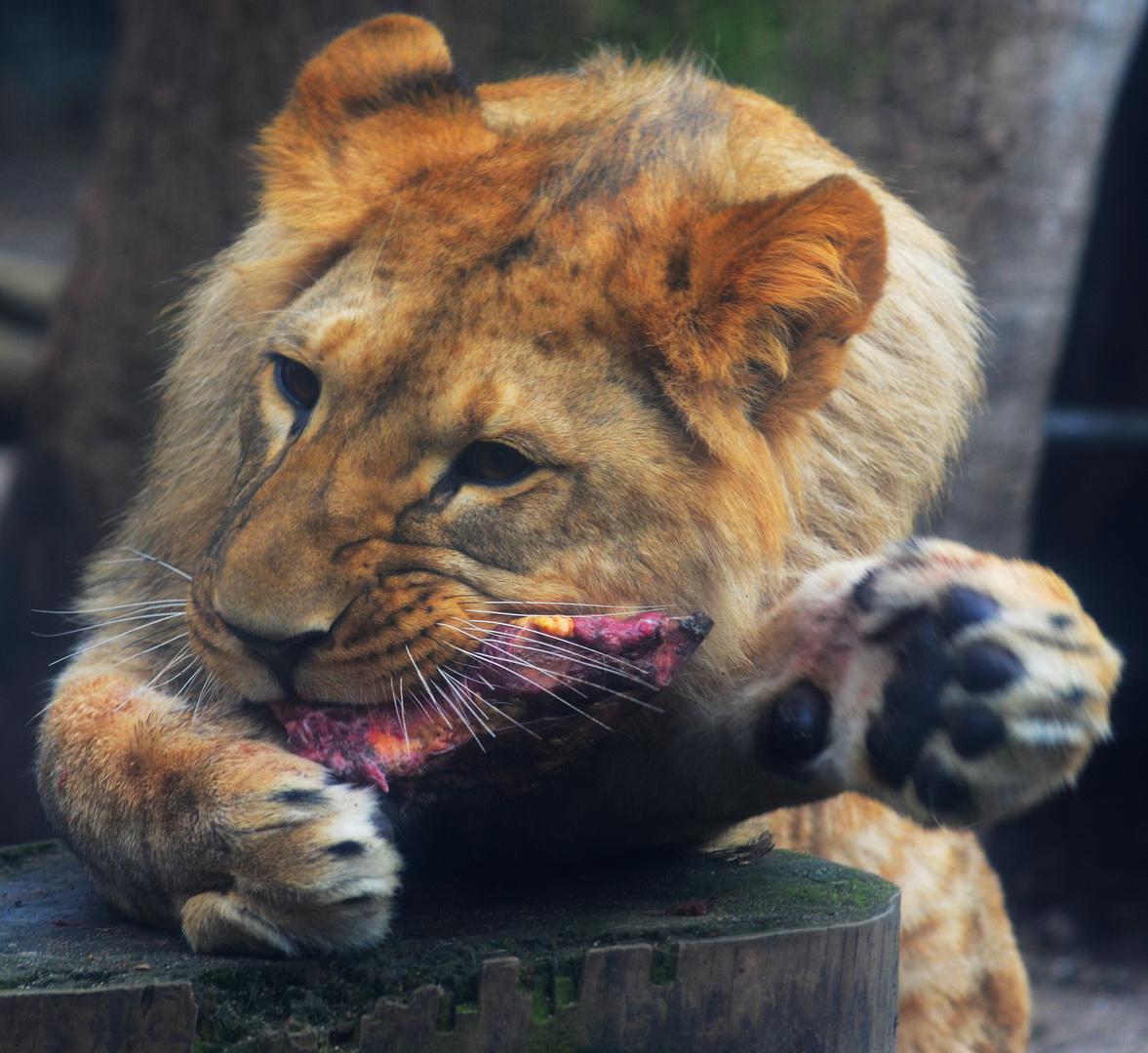 junger Löwe beim Frühstück