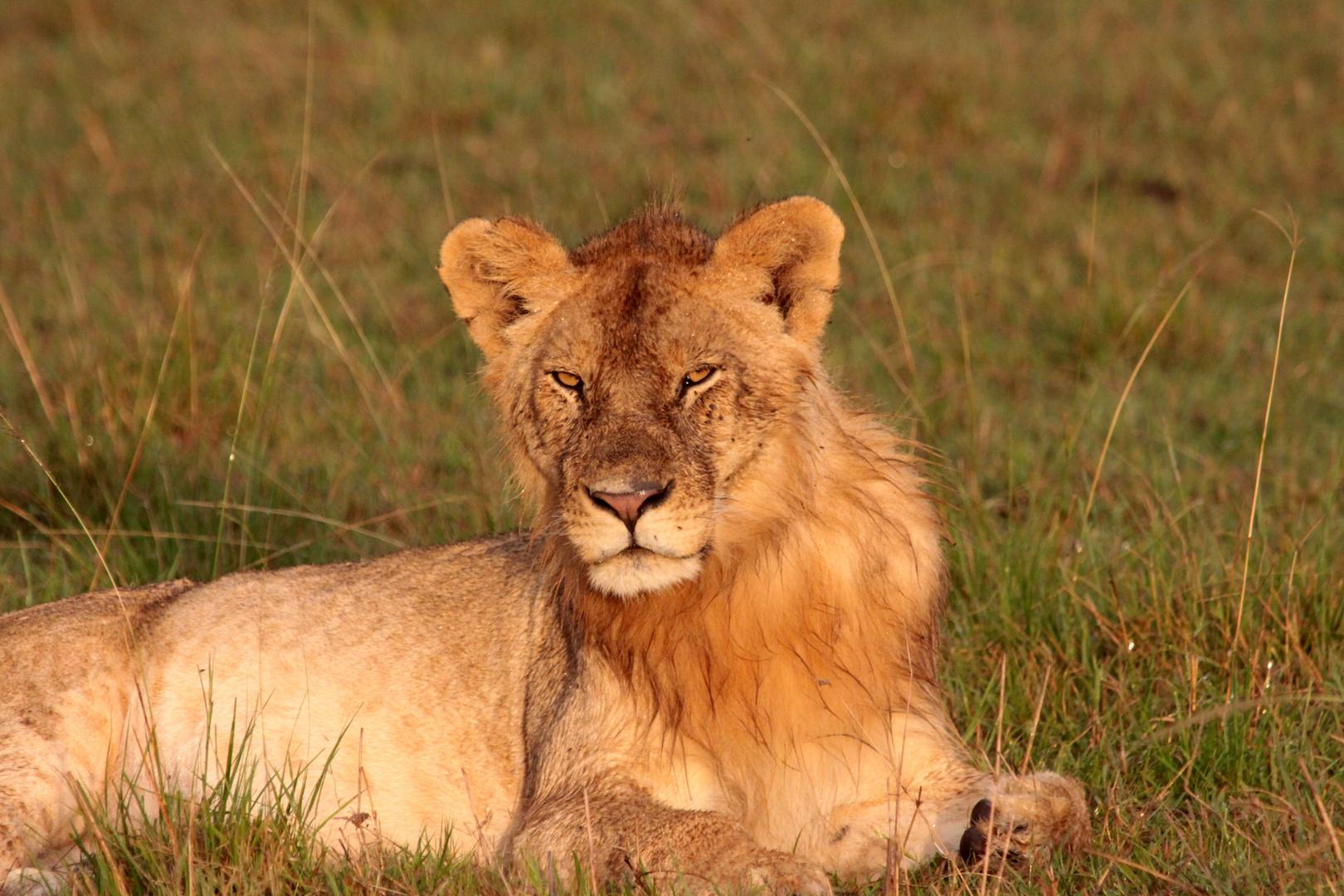 Junger Löwe im Morgenlicht