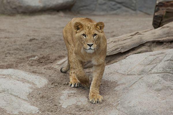 Junger Löwe im Tierpark Hagenbeck/ Hamburg
