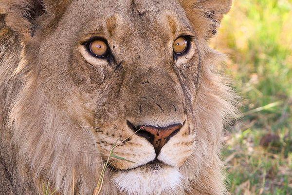 Junger Löwe kurz vor der Jagd...