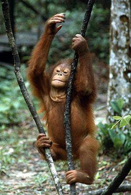 Junger Orang-Utan im Auswilderungszentrum von Semengok (Borneo)