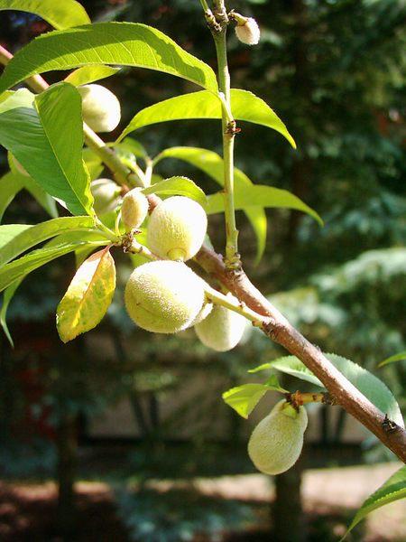 pfirsichbaum kaufen pfirsichbaum g nstig pflanzenversand. Black Bedroom Furniture Sets. Home Design Ideas