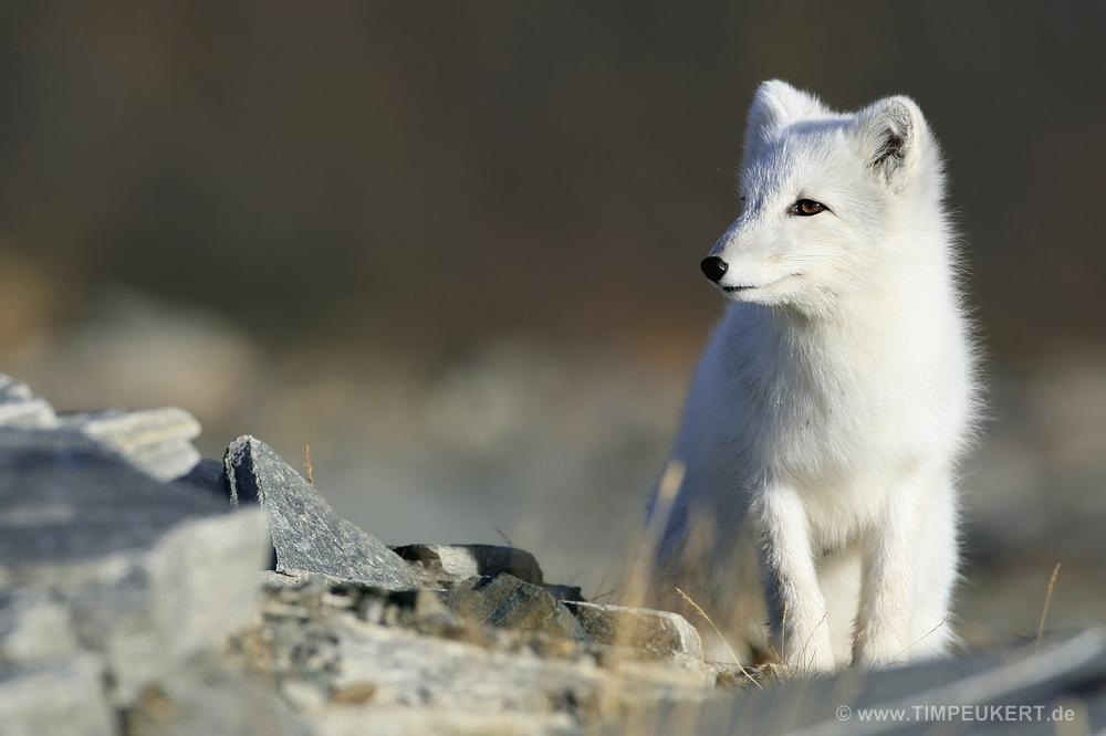 Junger Polarfuchs in Norwegen