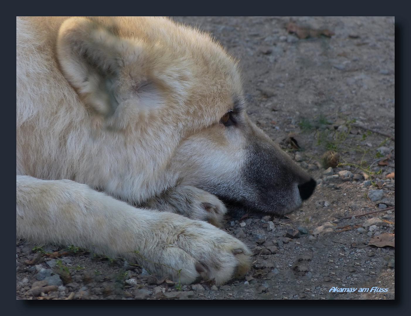 Junger Polarwolf