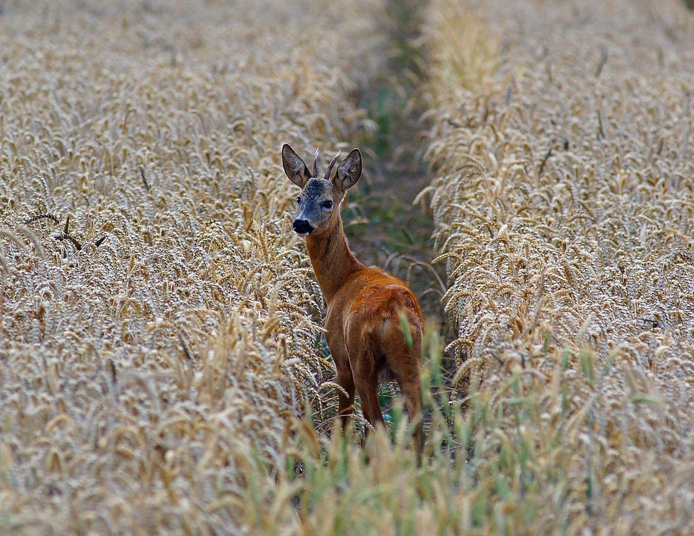 Junger Rehbock im Weizen