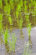 junger Reis