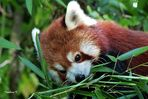 Junger roter-Panda erkundet die Umwelt