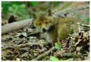 - Junger Rotfuchs 3 - ( Vulpes vulpes ) von Wolfgang Zerbst - Naturfoto