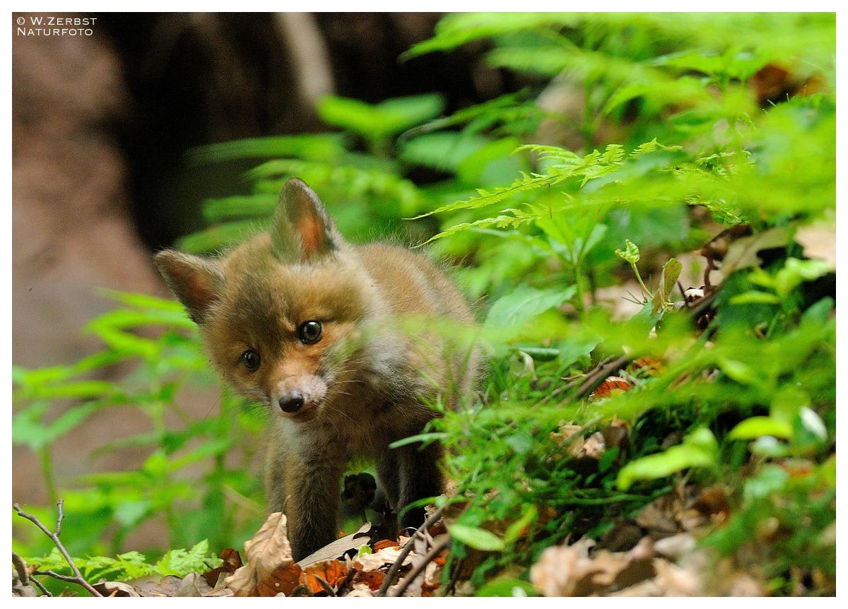 - Junger Rotfuchs - / Vulpes vulpes )