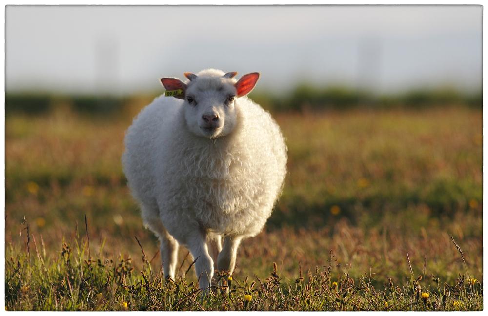 junger Schafsbock