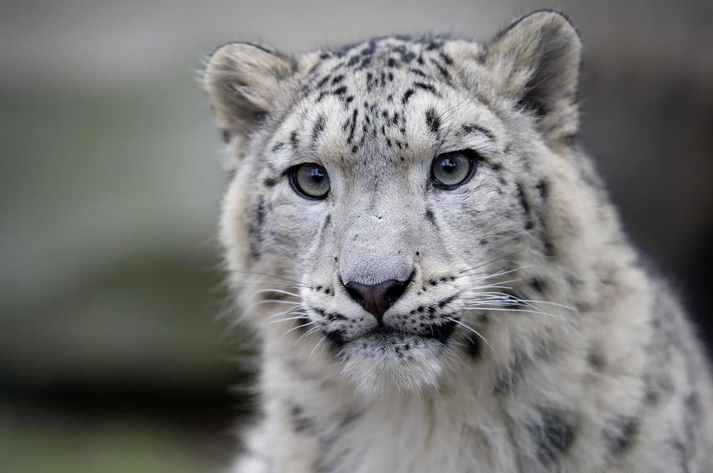 junger schneeleopard ...