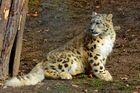 Junger Schneeleopard - Zoo Salzburg
