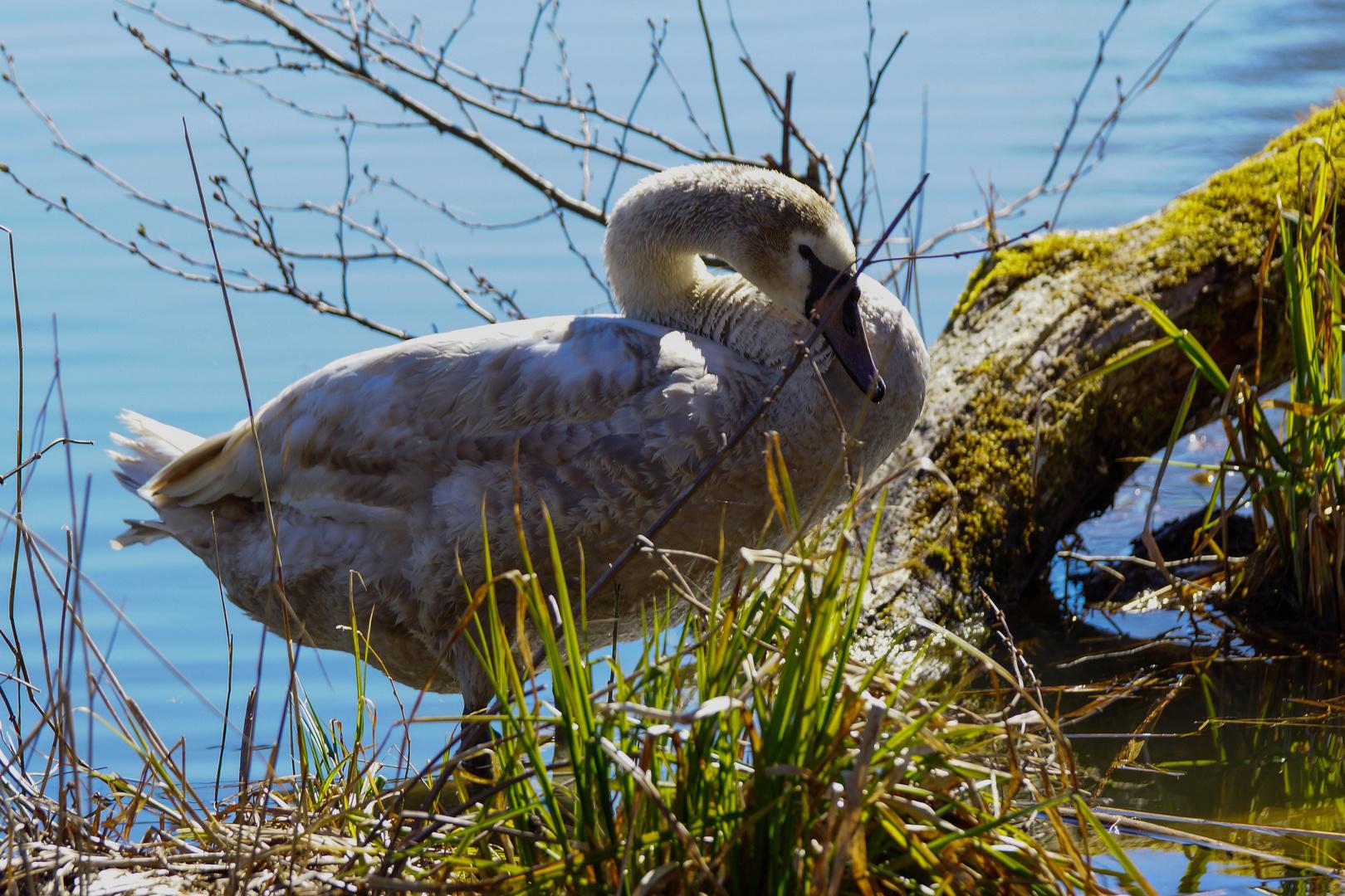 Junger Schwan in der Frühlingssonne