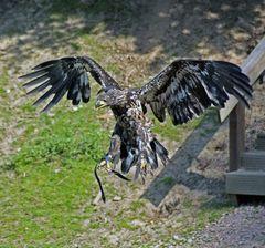 junger Seeadler im Anflug