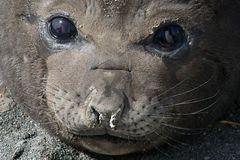 Junger Seeelefant