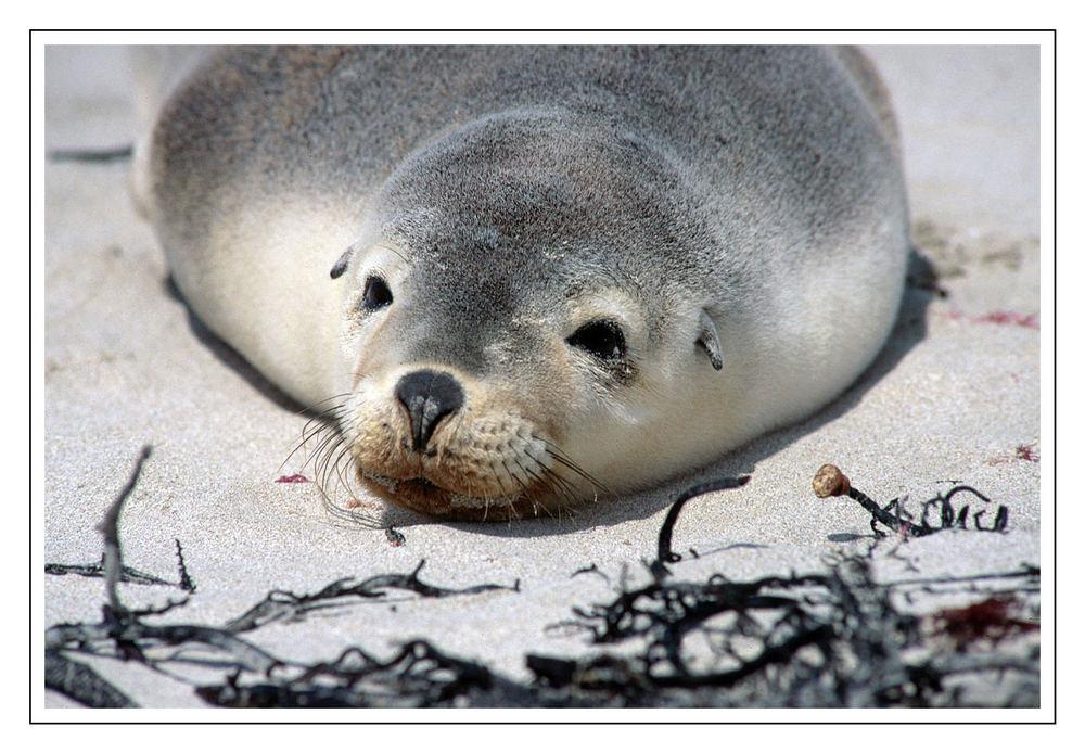 Junger Seelöwe • Seal Bay Conservation Park