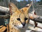 Junger Serval