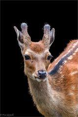 Junger Sikahirsch - Cervus nippon