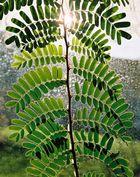 Junger Tamarindenbaum