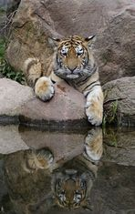 Junger Tiger im Leipziger Zoo