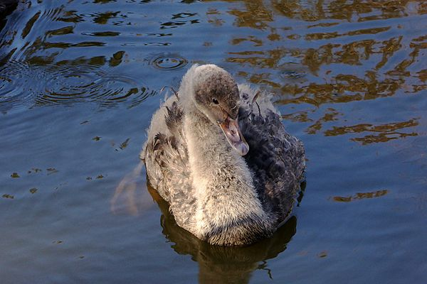 Junger Trauerschwan