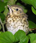 Junger Vogel?