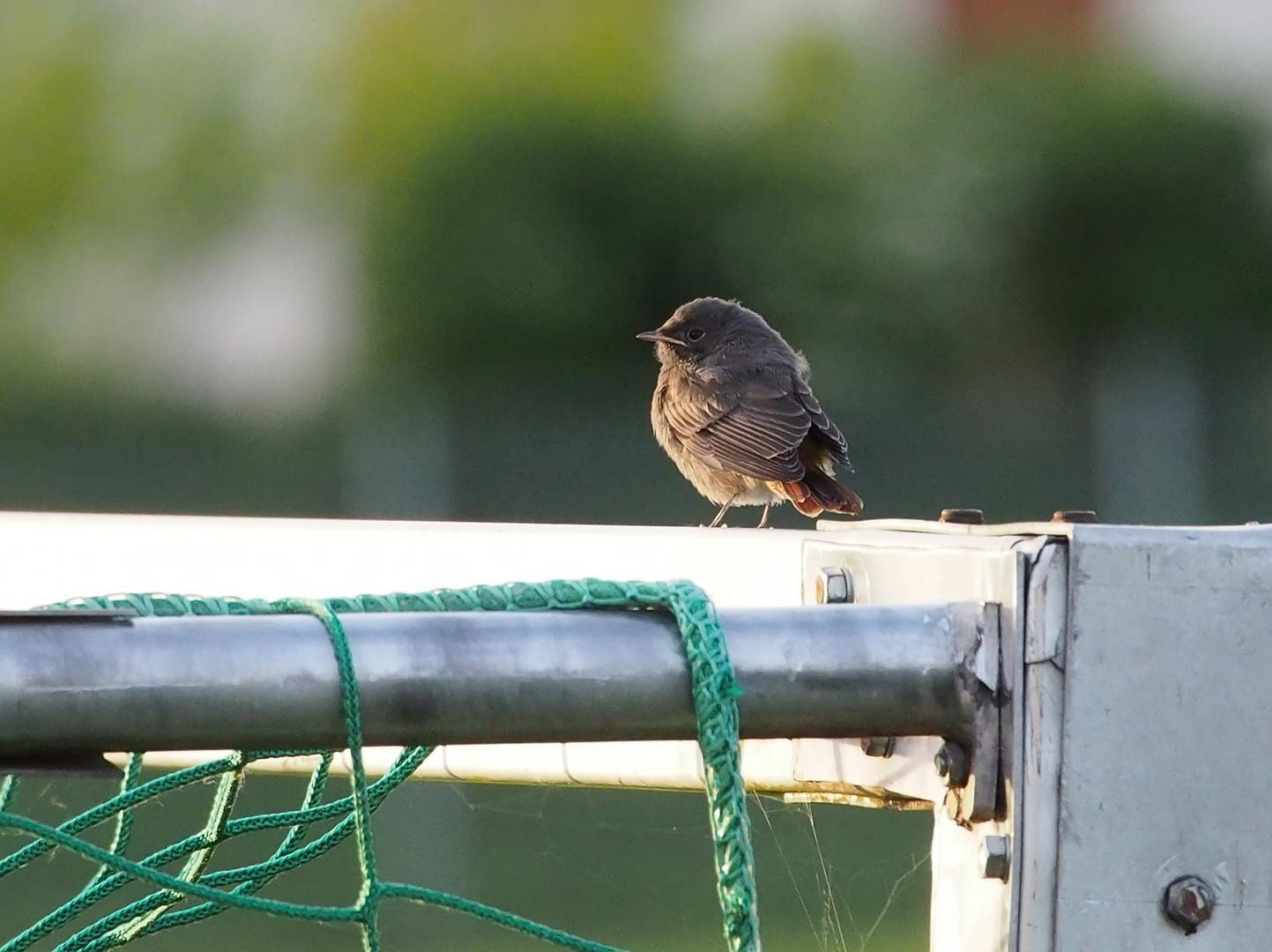 Junger Vogel auf Fußballtor
