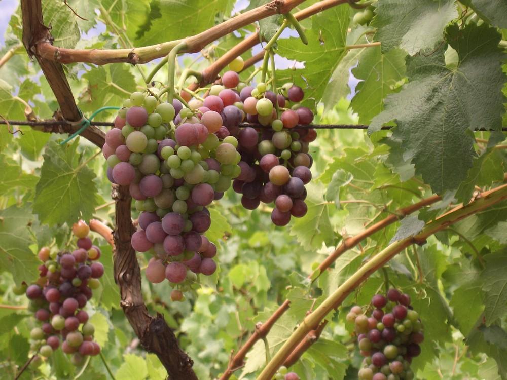 junger Wein