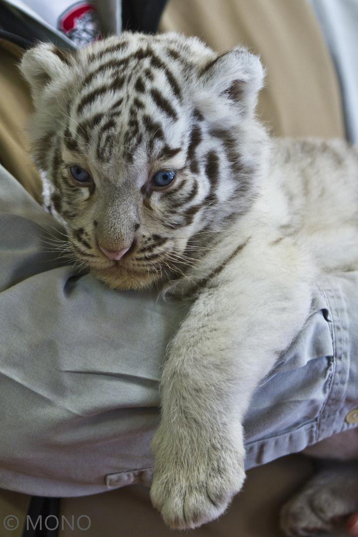 junger weißer Tiger