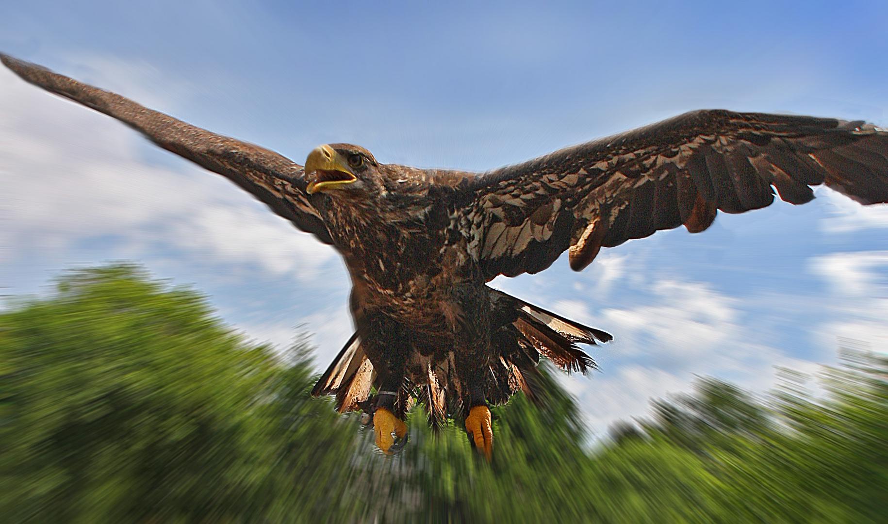 Junger Weisskopfseeadler im Flug