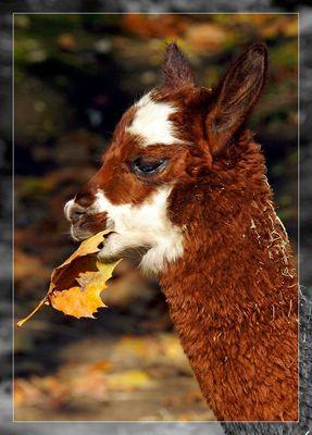 Junges Alpaka
