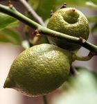 Junges Früchtchen - Zitrone
