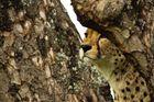 Junges Gepardenmännchen