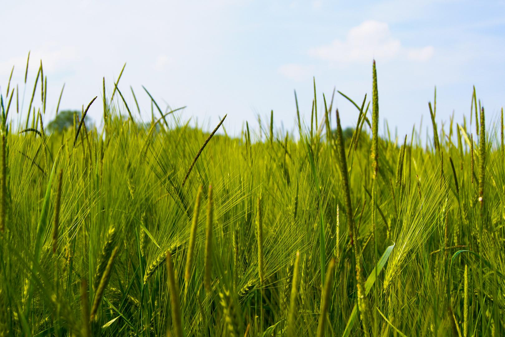 Junges Getreide