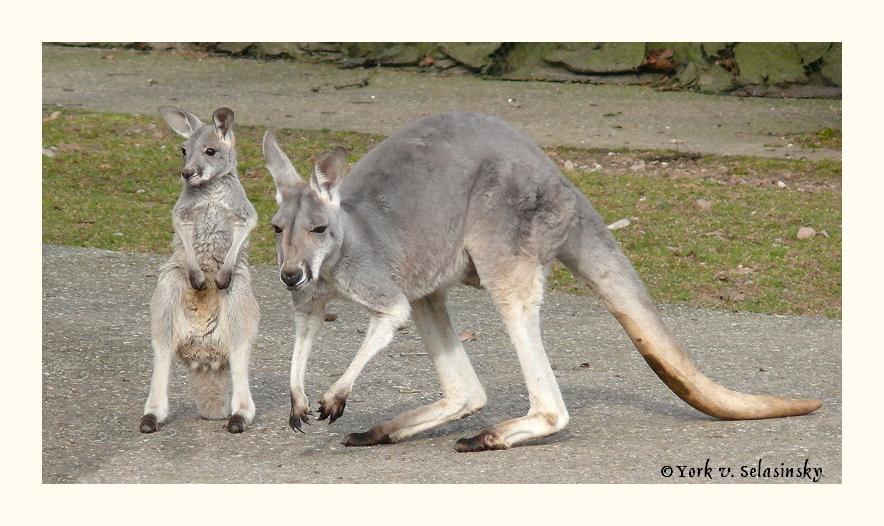 Junges Känguru mit seiner Mama