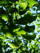 Junges Laub vom Ginkgo-Baum