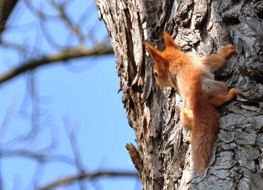 junges rotes Eichhörnchen