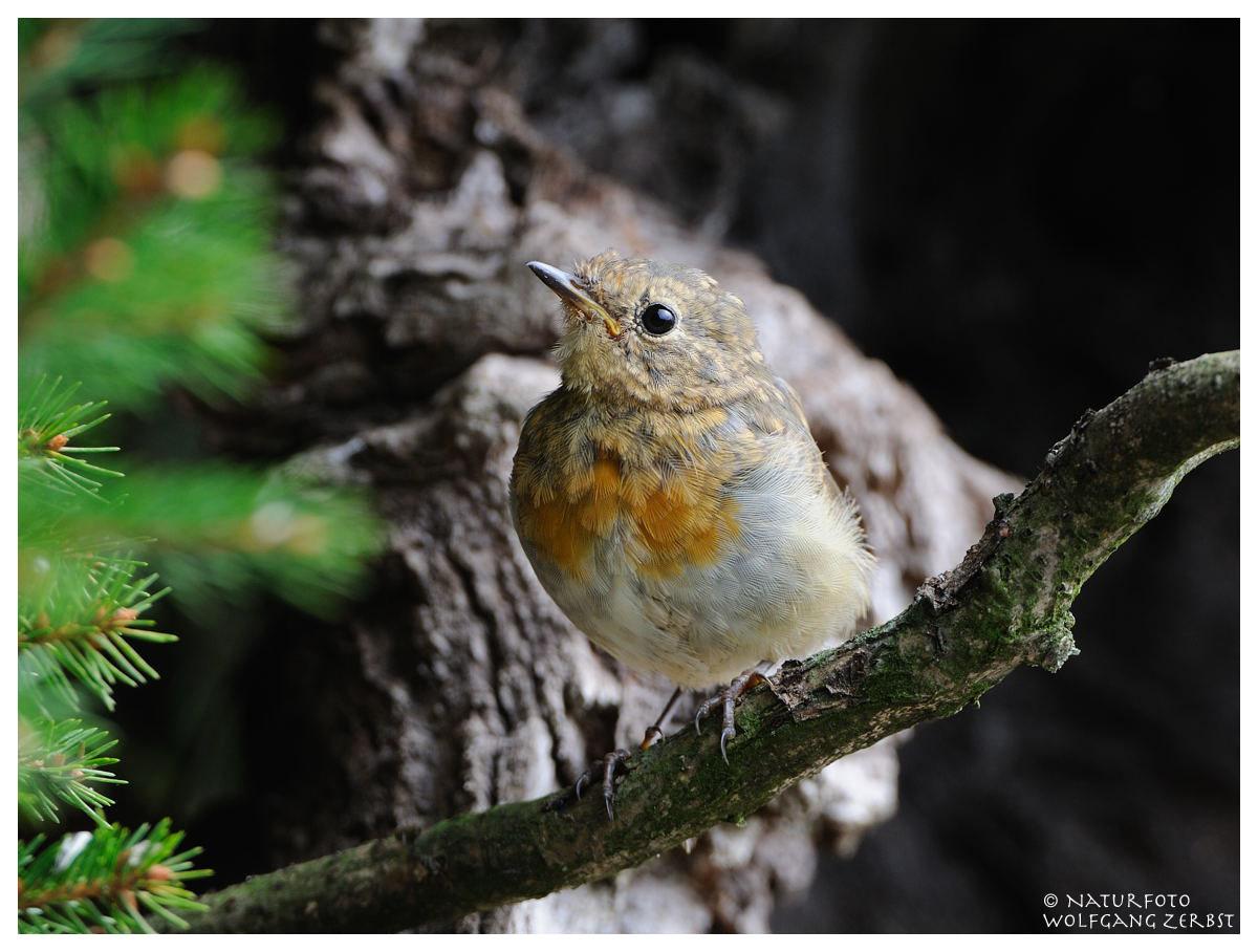 --- Junges Rotkehlchen --- ( Erithacus rubecula )