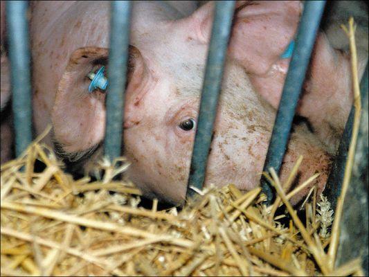Junges Schwein (als es noch lebte)