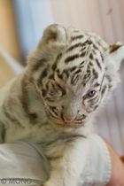 "junges weißes Tiger -""Waugerl"".."