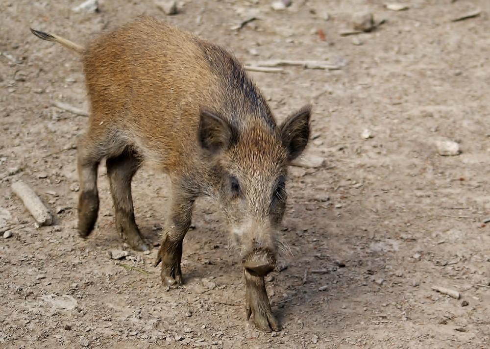 junges Wildschwein