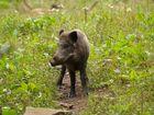 junges Wildschwein ( Überläufer )