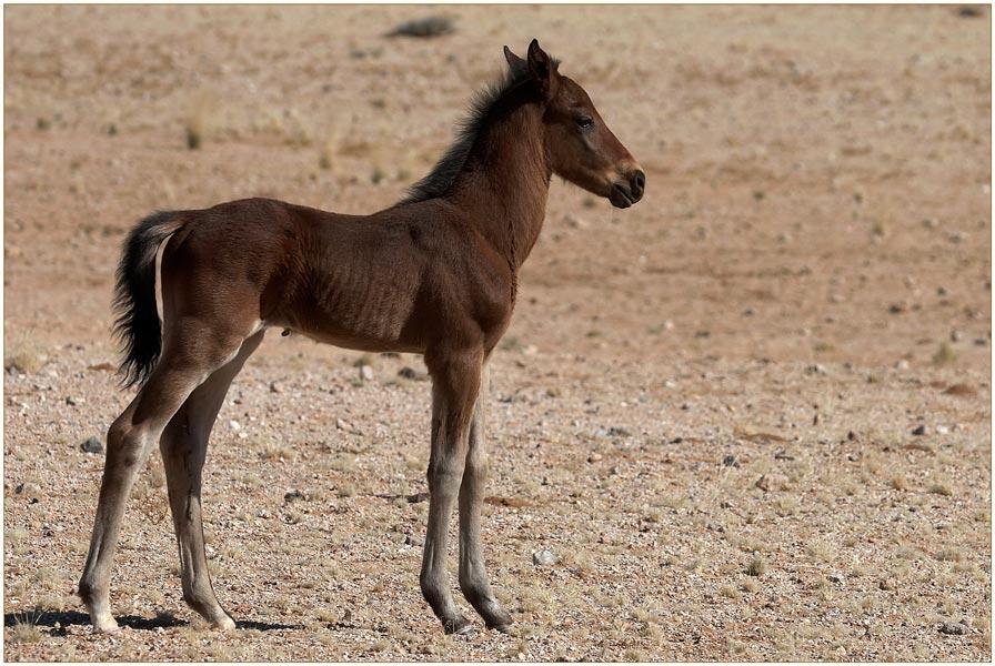 junges Wüstenpferd