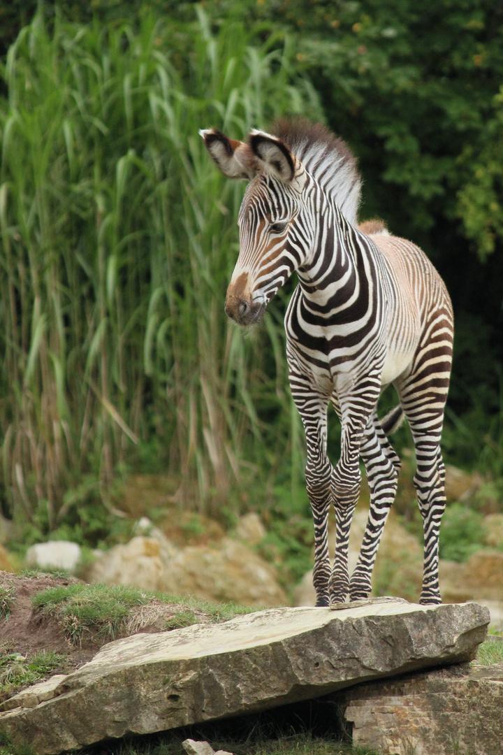 Junges Zebra....