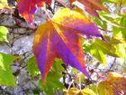 Jungfernrebe im Herbstgewand