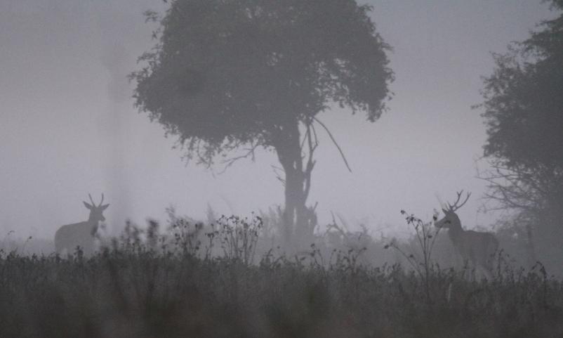 Junghirsche im Nebel