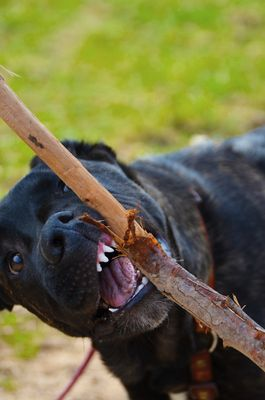 """Junghund beim Holz """"hacken"""""""