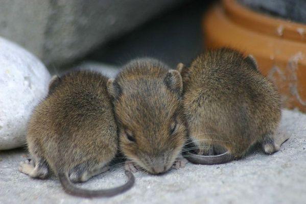 Jungmäuse beim Mittagsschlaf