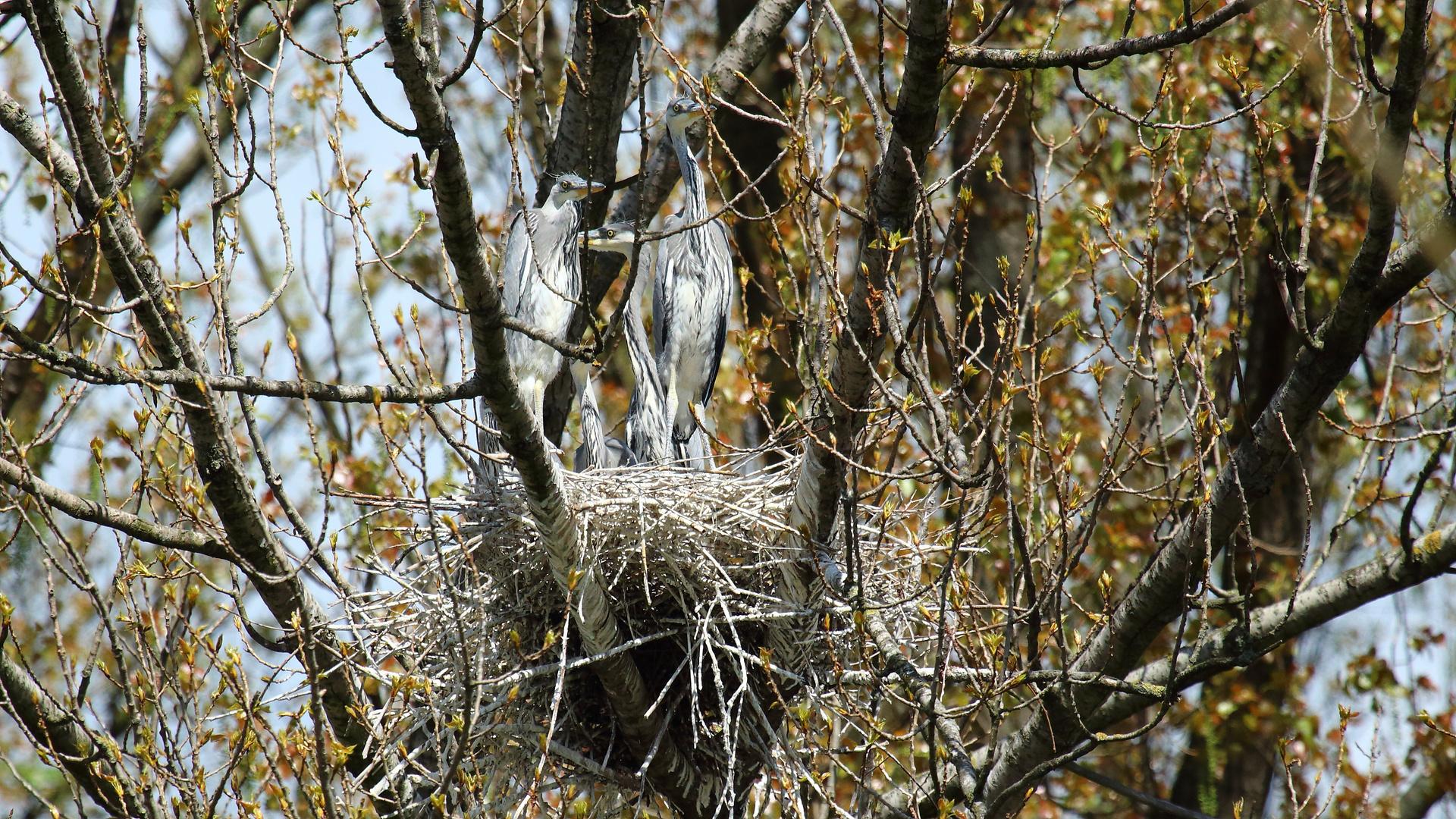 Jungreiher im Nest 02