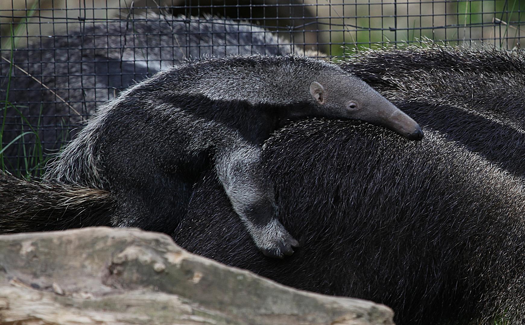 Jungtier des Grossen Ameisenbär